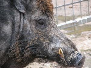 Wild Swine