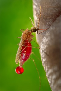 mosquito-542159_960_720